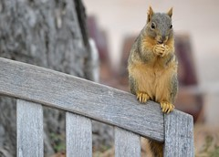 Share a peanut, mister? (KsCattails) Tags: bench squirrel