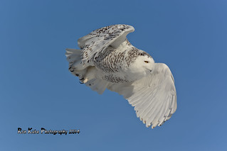 Snowy Owl DSC_6720