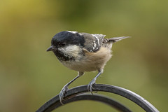 Coal Tit - Explored 28/12/14 (warren hanratty) Tags: wildlife gloucestershire nailsworth coaltit periparusater wildbird passerine warrenhanrattyphotography