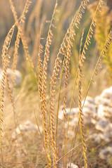 nature wildlife conservation usfws sideoatsgrama nwrs mixedgrassprairie lacreeknwr