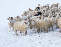 DSC01423 (ekremenak) Tags: photo iceland sheep 1502 150212