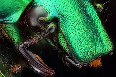rhomborrhina_bossioni_vietnam_blue_beetle (Macroscopic Solutions) Tags: macro close beetle micro ph dungbeetles chafer animalia arthropoda coleoptera scarabbeetle dungbeetle photomicrography insecta mistkäfer scarabbeetles macroscopic scarabaeidae pterygota escarabajos scarabs photomacrography photostacking entomologists 50x polyphaga scarabaeoidea taxonomy:class=insecta taxonomy:kingdom=animalia taxonomy:order=coleoptera taxonomy:phylum=arthropoda taxonomy:subclass=pterygota taxonomy:suborder=polyphaga taxonomy:family=scarabaeidae taxonomy:superfamily=scarabaeoidea blatthornkäfer 金龜子科 taxonomy:common=scarabbeetle taxonomy:common=dungbeetle taxonomy:common=chafer taxonomy:common=scarabs taxonomy:common=scarabbeetles entomolog taxonomy:common=escarabajos macroscopicsolutions taxonomy:common=金龜子科 taxonomy:common=mistkäfer taxonomy:common=dungbeetles taxonomy:common=blatthornkäfer