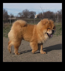 chow chow (jacilluch) Tags: dog can perro gos