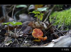 Bosquejant (PCB75) Tags: mushroom mira foret seta champignon pilz setas bosc magia  bolets bolet schwammerl  onddo mgic a3b  goita