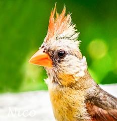 Juvenile cardinal  CSC_4010a