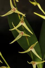 Anathallis sclerophylla (syn Pleurothallis sclerophylla) 2015-02-24 01 (JVinOZ) Tags: orchid pleurothallis orchidspecies anathallis