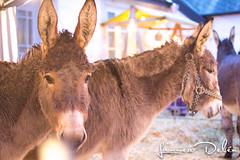 IMG_1559 (Linnea Deln) Tags: donkeys donkey julmarknad sna snor