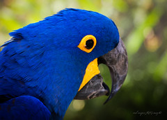 Blue (Raul Vazquez-RVG image) Tags: blue color bird colors yellow digital canon photography interesting eyes flickr day photographer shot bokeh passion miradas 70d canonistas