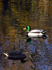 Autumn Passages (Eddie C3) Tags: newyorkcity birds bronx vancortlandtlake mallards nycparks vancortlandtpark