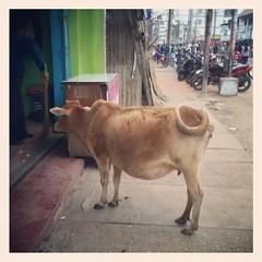 Street Cow (InvaderXan) Tags: india assam インド tezpur ভারত অসম তেজপুর
