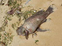 Mass fish death at Pasir Ris west off Carpark E, 2 Mar 2015 (wildsingapore) Tags: nature island marine singapore underwater wildlife litter coastal shore threats farms pasirris intertidal seashore marinelife aquaculture wildsingapore massfishdeath