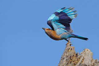 Indian Roller, Pench Tiger Reserve, India