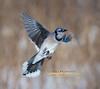 _DSC9946 - 2015-02-27 (JRIDLEY1) Tags: bluejay brightonmi jridley1 jimridley flyingbluejay httpwwwjimridleyphotographycom httpswwwfacebookcomjimridleyphotography