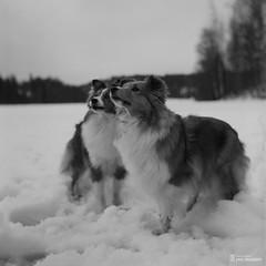 Rollei_Scan-150301-0003 (Jari Savijrvi) Tags: camera winter film dogs objects talvi maisema shetlandsheepdog koira sheltti rolleicordv shetlandshepherd shetlanninlammaskoira rolleirpx100