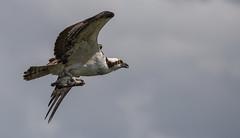 Osprey with fish (tyfihi) Tags: ranch b nature canon circle unitedstates florida wildlife tyler sparks lakeland
