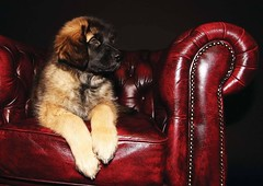 Puppy Sid 12 weeks (Kasinfoto @ Facebook) Tags: dog canon puppy friend sweden leonberger arvika 60d