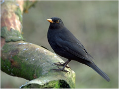Blackbird (eric robb niven) Tags: nature walking scotland spring dundee wildlife blackbird springwatch wildbird ericrobbniven pentaxk50