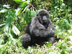 Gorilla Kneeling