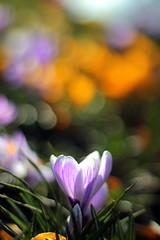 A Bokeh Full of Crocus (Benn Gunn Baker) Tags: park signs blur flower color colour church st canon bristol george spring baker bokeh crocus rd benn gunn 550d t2i