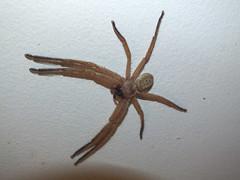 Sparassidae Huntsman spider DSCF7228 (Bill & Mark Bell) Tags: exmouth westernaustralia australia geo:town=exmouth geo:state=westernaustralia geo:country=australia geo:lon=11425453egeolat2217752sgeoalt8m 11425453e2217752salt8m taxonomy:kingdom=animalia animalia taxonomy:phylum=arthropoda arthropoda taxonomy:class=arachnida arachnida taxonomy:order=araneae araneae taxonomy:superfamily=sparassoidea sparassoidea taxonomy:family=sparassidae sparassidae taxonomycommonnamehuntsmanspider huntsmanspider spider