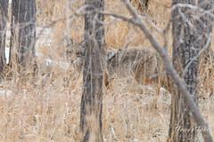 Coyote camoflauged