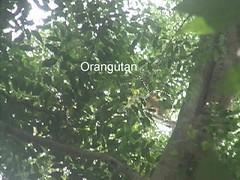 Orangutan in Ganung Palung