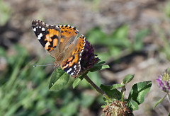 Painted Lady Butterfly (Vanessa cardul); Santa Fe National Forest, NM, Thompson Ridge [Lou Feltz] (deserttoad) Tags: show summer newmexico flower up butterfly this us is year first location more will shows ive seen increase specimen density blooming widespread showy fairly regularly progresses