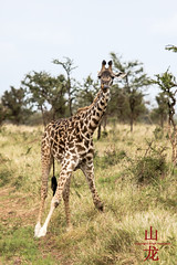 Masai Giraffe (DragonSpeed) Tags: africa tanzania mammal safari mara tz giraffacamelopardalistippelskirchi serengetinationalpark masaigiraffe maasaigiraffe tzday05 loboregion africanwildcatsexpeditions