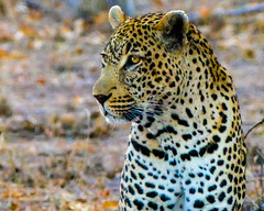 African Leopard (MarcCooper_1950) Tags: africa leica game colors animals southafrica outdoors lumix bush african wildlife vivid panasonic leopard marc spotted bigcats predators lightroom bigfive sabisands arathusalodge fz1000 beldt cooperwild