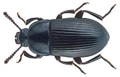 Cenoscelis pulla (Erichson, 1843) (urjsa) Tags: africa insect kenya beetle afrika pulla insekt kenia kfer coleoptera kaefer tenebrionidae taxonomy:order=coleoptera taxonomy:family=tenebrionidae geo:country=kenya cenoscelis cenoscelispulla taxonomy:binomial=cenoscelispulla taxonomy:genus=cenoscelis taxonomy:species=pulla