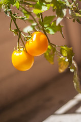 Only two things that money can't buy and that's true love and homegrown tomatoes......John Denver (Suu's) Tags: tomato tomatoes homegrown golden goldenjubilee