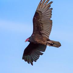 _5D36418 (dendrimermeister) Tags: vulture bird avian animal fauna flight soar