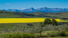 Canola field west of Longview Alberta. (ken.sparks33) Tags: longview alberta canada rocky mountains canola