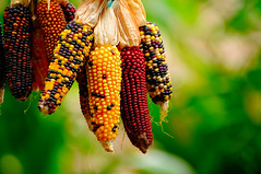 Maz (Munigarro) Tags: maz corn