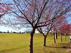 Curitiba - 07/2016 (Elisama Oliveira) Tags: cherryblossom curitiba jardimbotanico seasons beautifulplace brazil