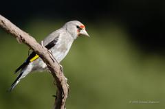 Grey-headed Goldfinch (Esmaeel Bagherian) Tags: birds wildlife goldfinch birdwatcher   birdsphotography birdsofiran  greyheadedgoldfinch  esmaeelbagherian