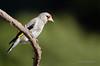 Grey-headed Goldfinch (Esmaeel Bagherian) Tags: birds wildlife goldfinch birdwatcher پرندگان سهره birdsphotography birdsofiran پرندهنگری greyheadedgoldfinch اسماعیلباقریان esmaeelbagherian پرندگانهزارمسجد پرندگانایران سهرهطلایی