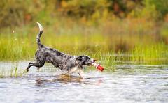 30.7 (219) (Contact: krista.rosenlof@gmail.com (Fin, Eng)) Tags: toberoi apache riemu joy blue merle bordercollie border collie swimming swim summer water lighthouse toy dog