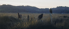Carrion (Daniela Evelyn) Tags: sunset horse field canon puerto pantano swamp campo invierno t3 carrion carroa jotes cinaga
