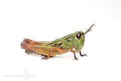 Green n gold (Michael_Whitehead) Tags: macro nature closeup insect australia grasshopper onwhite kosciuscola