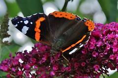 Admiral (Vanessa atalanta) (Hugo von Schreck) Tags: macro butterfly insect outdoor falter admiral makro insekt schmetterling vanessaatalanta onlythebestofnature tamron28300mmf3563divcpzda010 canoneos5dsr hugovonschreck