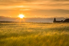 golden fields (SonjaS.) Tags: summer sun sunrise landscape deutschland sonnenuntergang sommer felder fields sonne sonnenstrahlen herrenberg badenwrttemberg goldenfields amabend goldenefelder