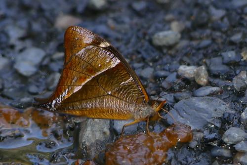 Corades argentata P1010859