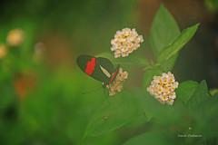Dans la vapeur d'eau d'une cascade . (PACHA23) Tags: equateur papillon fauna wildlife faune