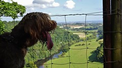 Wye Valley Dog At Coldwell (WYEEXPLORER) Tags: symonds yat coldwell rocks wye valley view dog