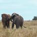 Head to head, Tarangire, Tanzania