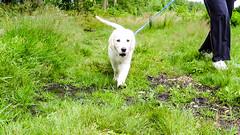 Charlie walking (Mark Rainbird) Tags: uk england dog canon puppy unitedkingdom retriever charlie ufton powershots100 uftonnervet