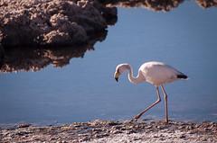 the other type of flamingo (ckocur) Tags: chile atacama sanpedrodeatacama northernchile atacamadesert