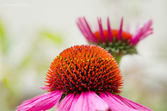 echinacea 30/52 (sure2talk) Tags: echinacea plant flower pink orange shallowdof bokeh macro nikond7000 nikkor85mmf35gafsedvrmicro 52weeksfornotdogs 3052