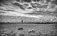 Sleeping Dogs (Padmanabhan Rangarajan) Tags: marina beach dogs sleeping birds feeding india chennai